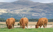 Limousin cattle grazing on pastures with mountains in the background, Stirling, Scotland.
