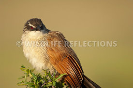 Coucal Senegal Tight Horizontal