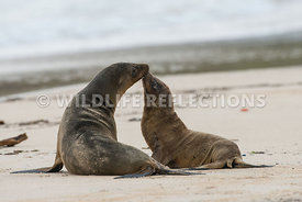 galapagos_sea_lion_santa_fe_mom_and_pup-1