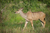 Female greater kudu, Tragelaphus strepsiceros, Kruger National Park, South Africa