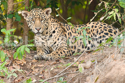 jaguar_forest_bank_rest-31