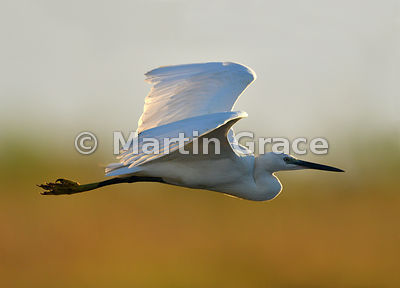 Little Egret (Egretta garzetta) in flight just after sunrise, River Chobe, Botswana