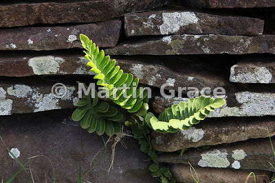 Fern in wall of building of Orongo Village, Rano Kao, Easter Island (Rapa Nui)