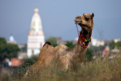 Camel in front of a Hindu temple in Pushkar, Rajasthan, India