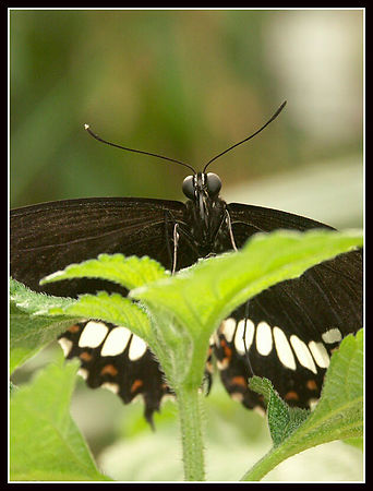 Tropical butterfly species , Butterfly garden , Knokke
