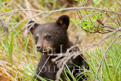 Black Bear Cub In Brush