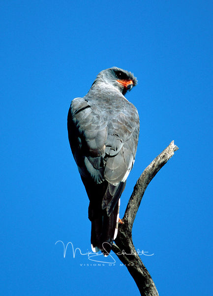 Africa_Gray_Eagle_blue_sky
