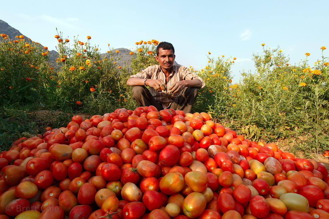 A farmer sits with his tomato harvest, Amba village, Rajasthan, India