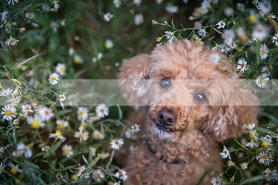 portrait of sweet small red poodle dog in crown vetch