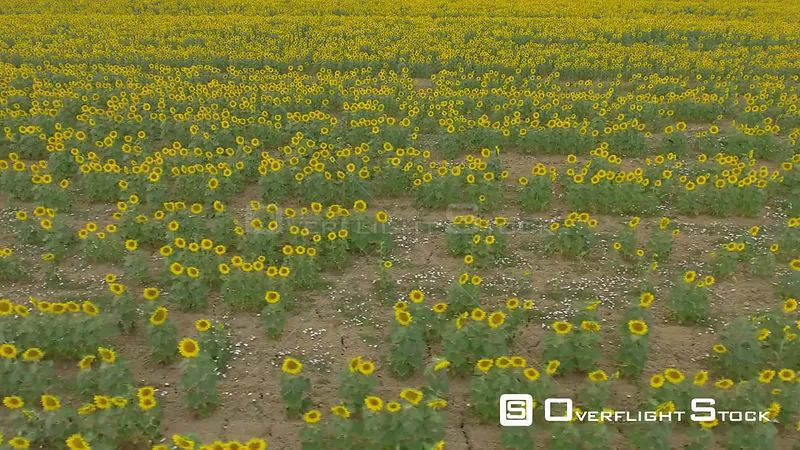 Sunflower Field Dorone Video Pisa Italy