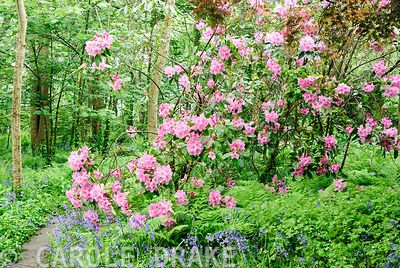 Sugar pink rhododendron surrounded by bluebells in the south garden. Trewidden, Buryas Bridge, Penzance, Cornwall, UK