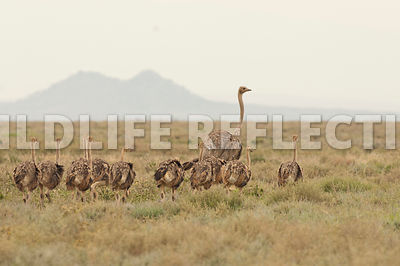 ostrich_family_walking_2