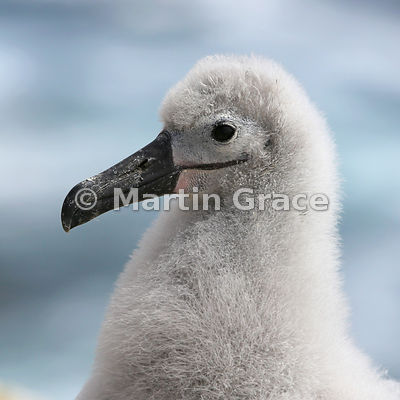 Close-up of Black-Browed Albatross (Thalassarche melanophrys) nestling, The Rookery, Saunders Island
