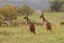 kangaroo_western_grey_field_two-1