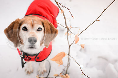 sweet senior beagle wearing red coat looking up from snow
