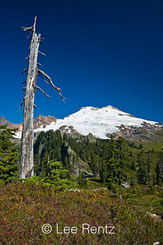 Mountain Hemlocks (Tsuga mertensiana) snag in a subalpine meadow on the trail to Park Butte Lookout with Mt. Baker looming in...