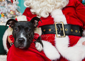 Close-Up of Black and White Pit Bull Puppy on Santas Lap for Holiday Photo