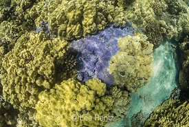 Blue Rice Coral, Montipora flabellata, in Kopoho Tide Pools on Hawaii's Big Island