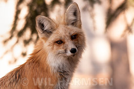 Fox_Portrait_FinWH