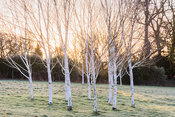 A group of white stemmed birches, Betula utilis var. jacquemontii, with the rising sun behind at The Down House, Hampshire in...