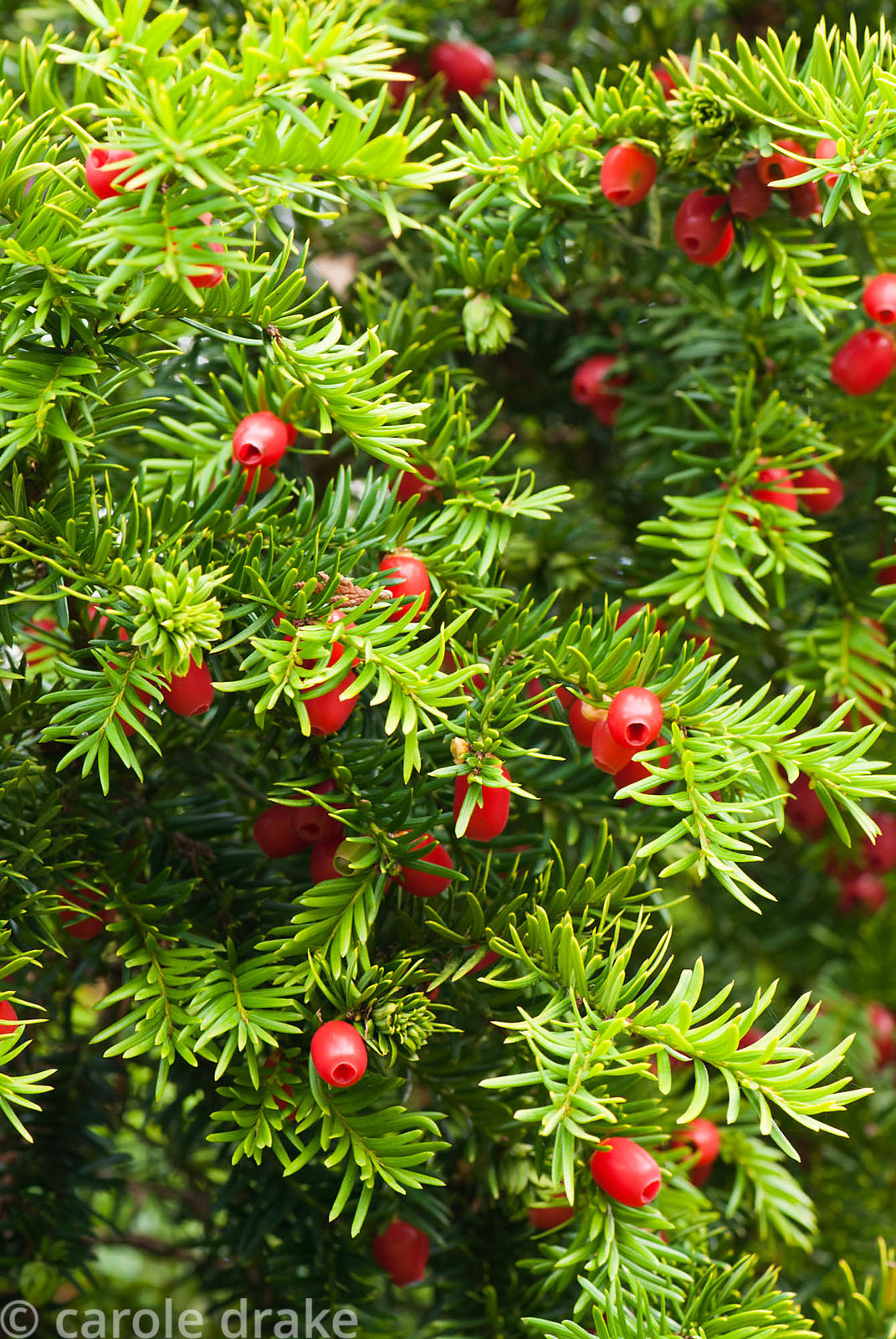 Taxus baccata, yew berries. Exbury Gardens, Exbury, Hants, UK
