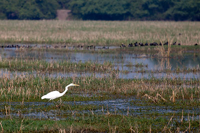 Great Egret (Casmerodius albus), Keoladeo National Park, Bharatpur, India