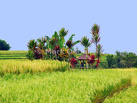 rice fields Bali 2