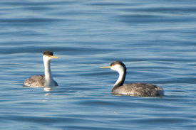 January - Western Grebes