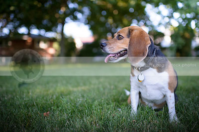 tricolor beagle dog posing sitting in park grass