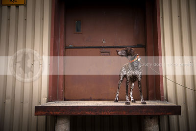 alert brown ticked dog standing at urban painted steel door