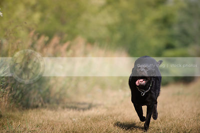 black mixed breed dog running to camera with minimal background