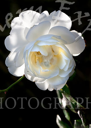 White Rose in Sunlight