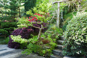 Cloud pruned elm Ulmus x hollandica 'Jacqueline Hillier' alongside dark acer and red rhododendron around decking from which steps lead framed by timber archway supporting wisteria. The Japanese Garden & Bonsai Nursery, St.Mawgan, nr Newquay, Cornwall