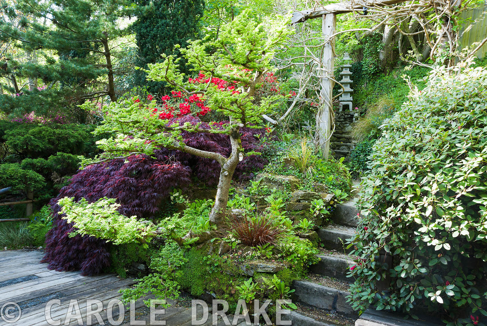 Cloud pruned elm Ulmus x hollandica 'Jacqueline Hillier' alongside dark acer and red rhododendron around decking from which s...