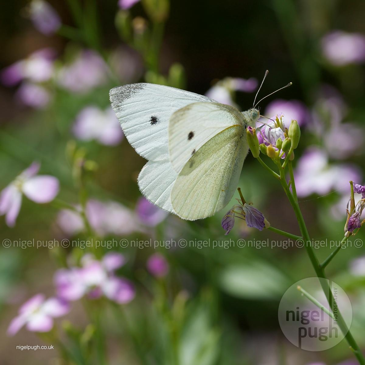 female small white: