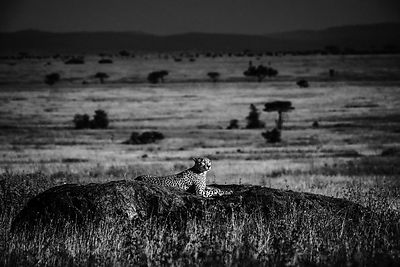 09904-Cheetah_in_the_twilight_Tanzania_2018_Laurent_Baheux