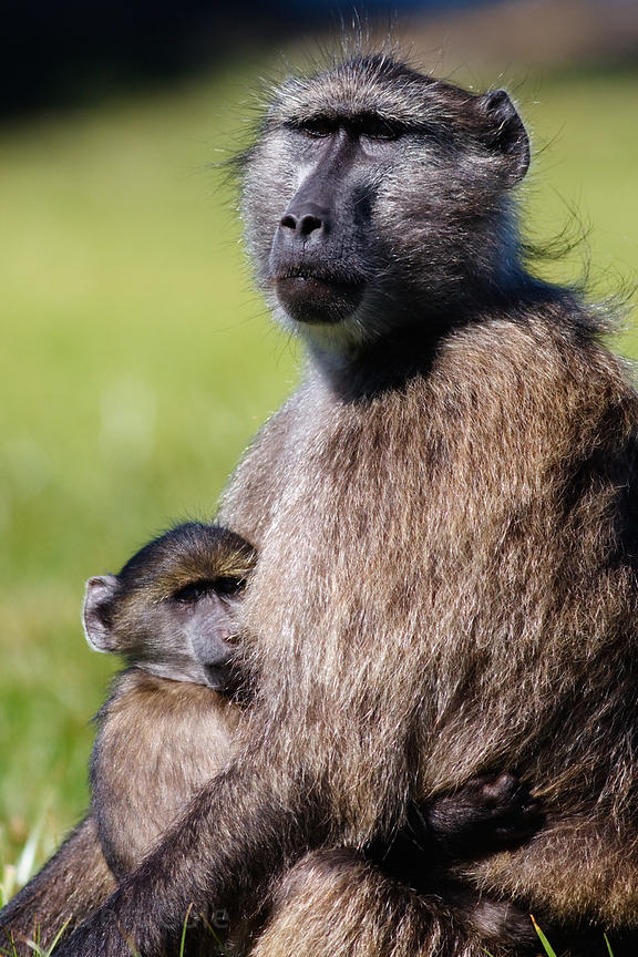 A female baboon from the Buffels Bay troop sits with her baby at Buffels Bay, Cape Peninsula, South Africa