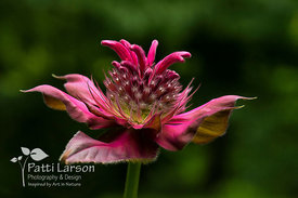 Bee Balm with Special Effects