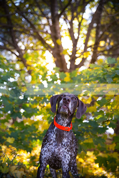 snaggletoothed brown ticked dog standing in trees in autumn