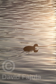 Eurasian Coot (Fulica atra) among the sunset light on Lake Bled (Blejsko Jezero)