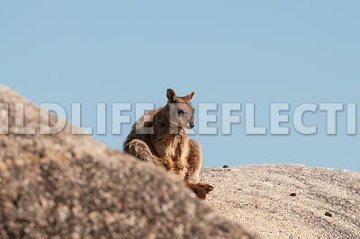 rock_wallaby_mareeba_sit_sky-1