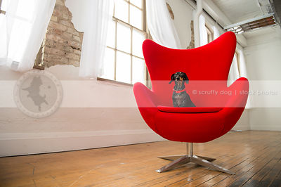 little black and tan dog looking sideways on red chair in studio indoors