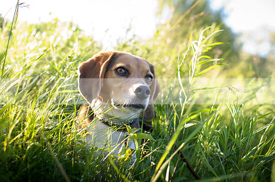 portrait of beagle dog sitting in grass and sunshine