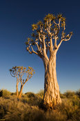 Kokerboom or quivertree in southern Namibia