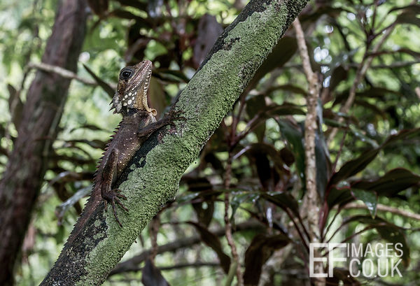 Jesus Lizard Sitting On A Branch In The Daintree Rainforest