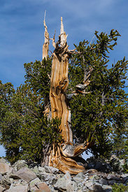 Bristlecone Pine Grove in Great Basin National Park