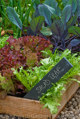 Salad leaf and Red Cabbage seedlings in seed trays on a greenhouse shelf. © Rob Whitworth