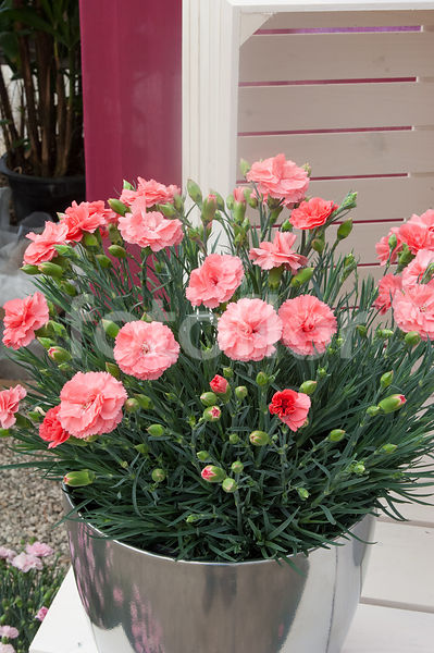 Dianthus Scent First® Romance, oeillet, rose