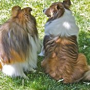 Sheltie_Sunday_-_33