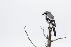 Loggerhead Shrike, Lanius ludovicianus, in the Organ Mountains